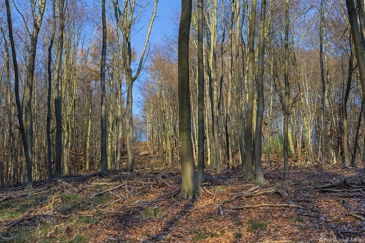 breite Rückegasse im dünnen Buchenbaumholz
