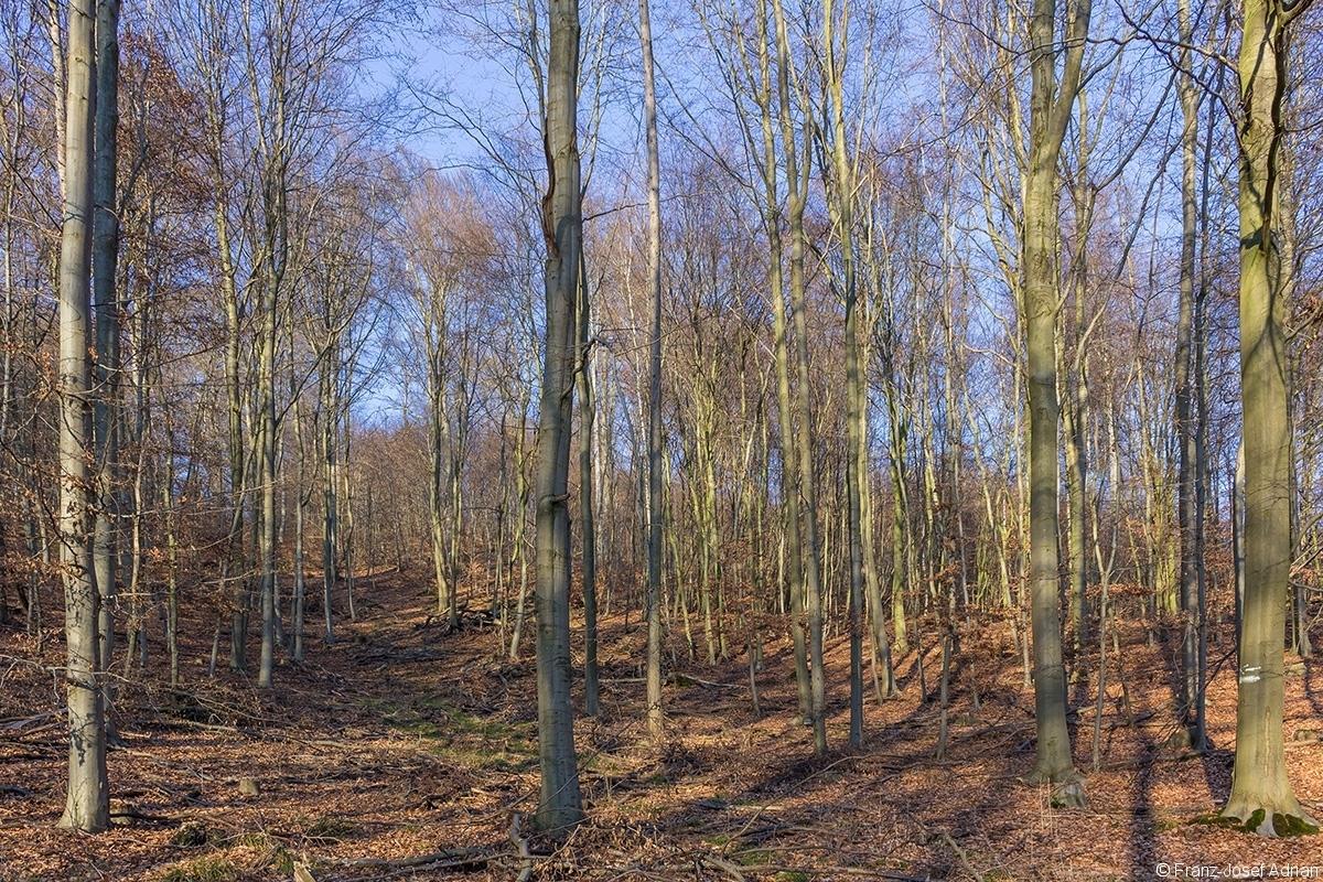 breite Rückegasse durch Buchenstangenholz und dünnen Baumholz