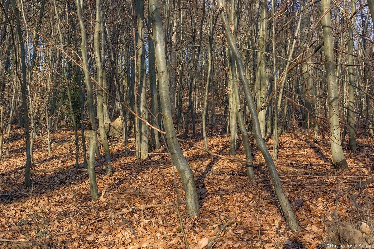 dichtes Stangenholz