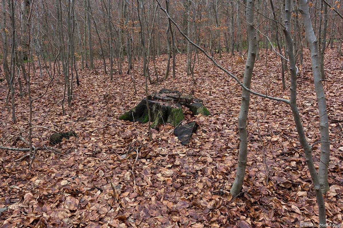 Stubben inmitten von Stangenholz