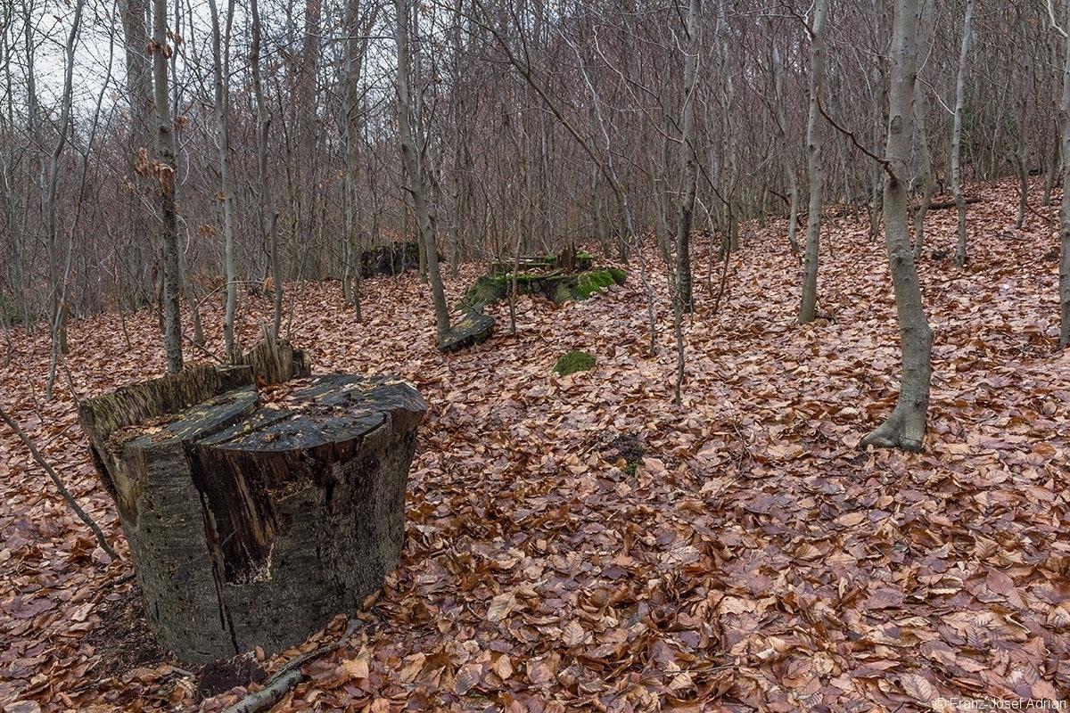 Stubben und Karikatur von starkem liegendem Totholz inmitten von Stangenholz