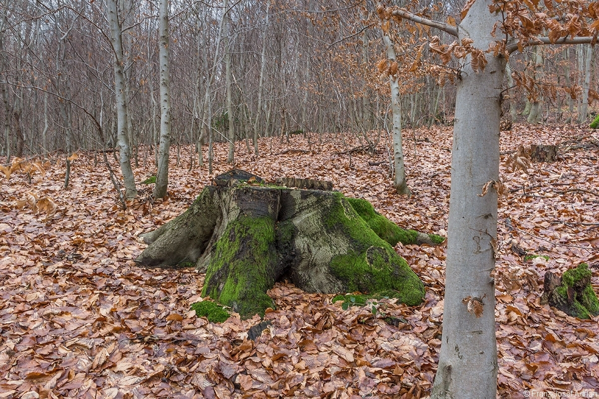 Stubben inmitten von Stangenholz im FFH-Gebiet Wälder bei Porta Westfalica