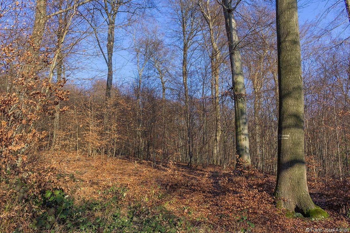 Traubeneiche mit Markierung einer Rückegasse und Überhälter im Stangenholz
