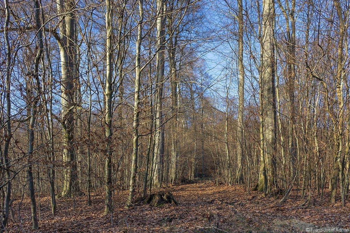 breite Rückegasse im zweischichtigen Schirmschlag-Wald
