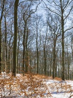 Buchenwald am Quernstweg