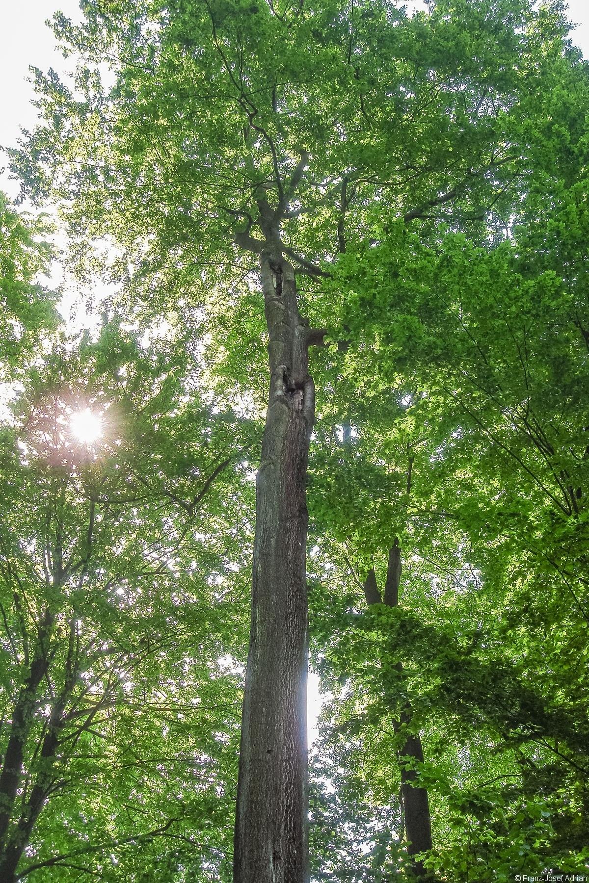 Hoehlenbaum