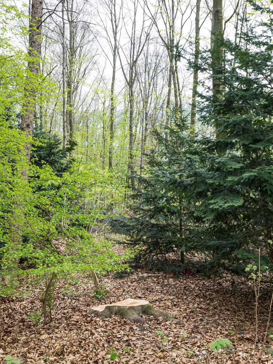 Gefällter Randbaum zwischen Eibe und Weißdorn