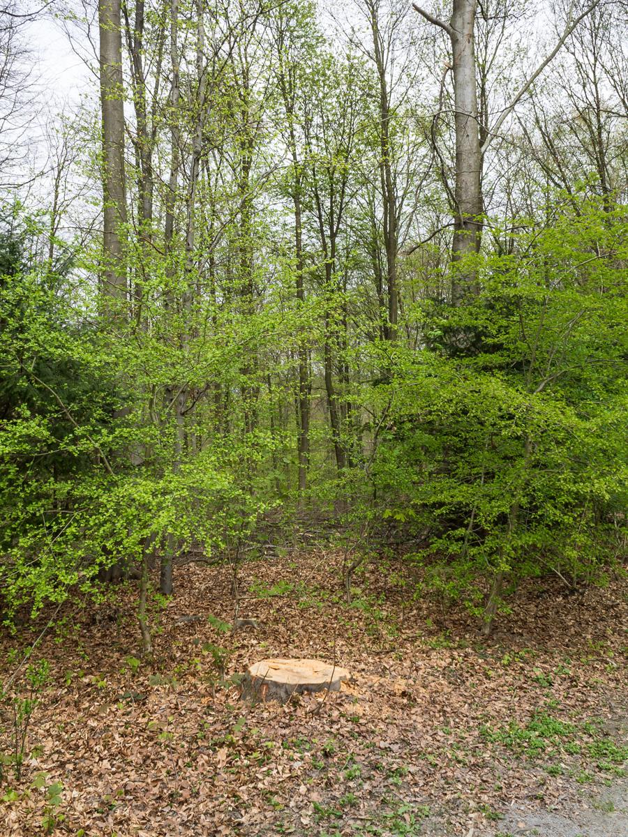 Gefällter Randbaum zwischen Weißdornbäumchen
