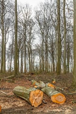 Stämme gesunder Buchen am Rand des lückigen Waldes