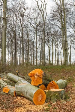 Buchenstämme vor mit Brombeeren überwuchertem Waldboden