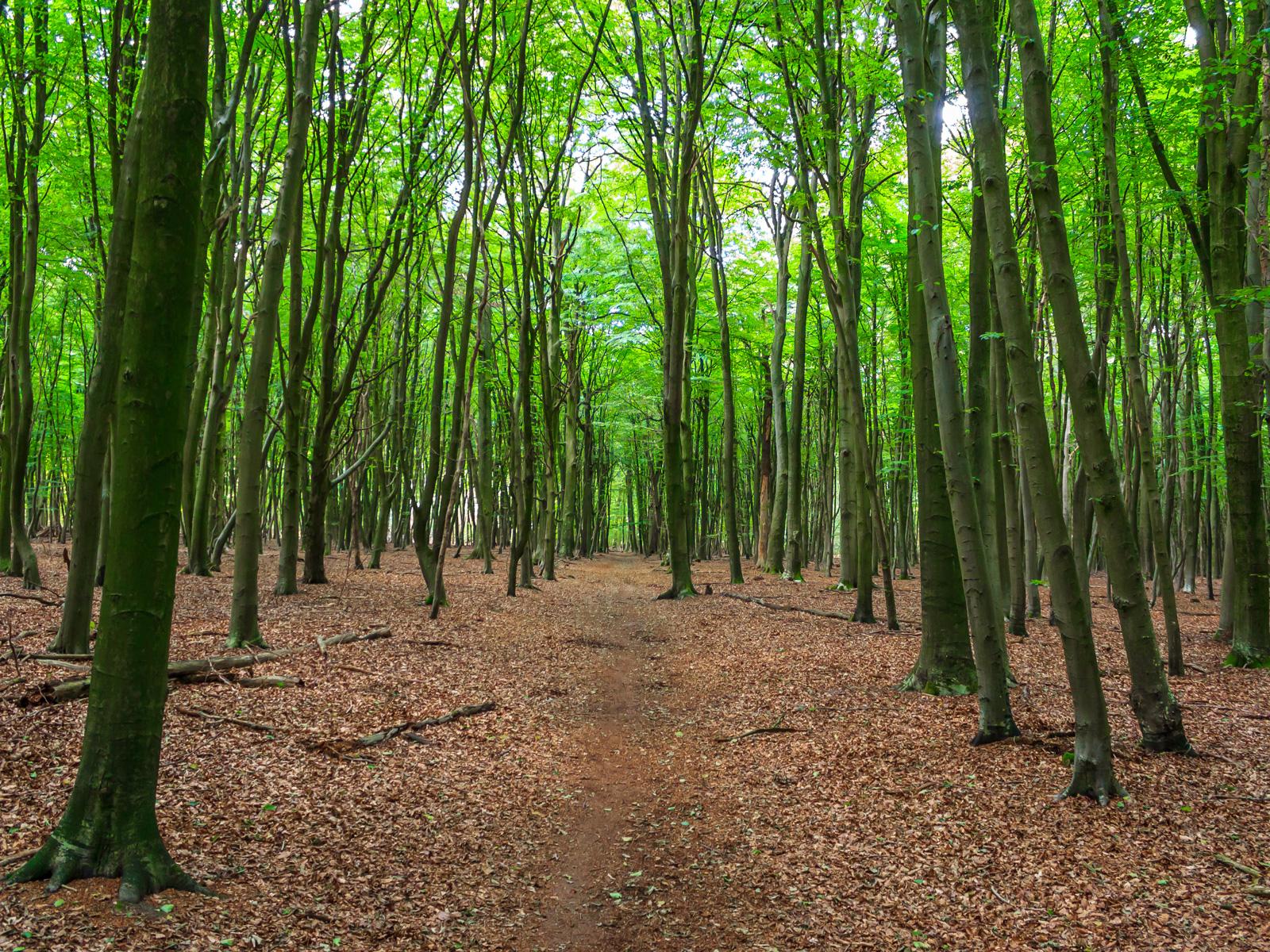 Weg durch Stangen- und Baumholz der Buche