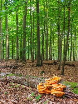 Schwefelporling an altem Kirschstamm im Forst Ritzerau
