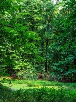 Wasserlinsenbedeckter Tümpel im Forst Ritzerau