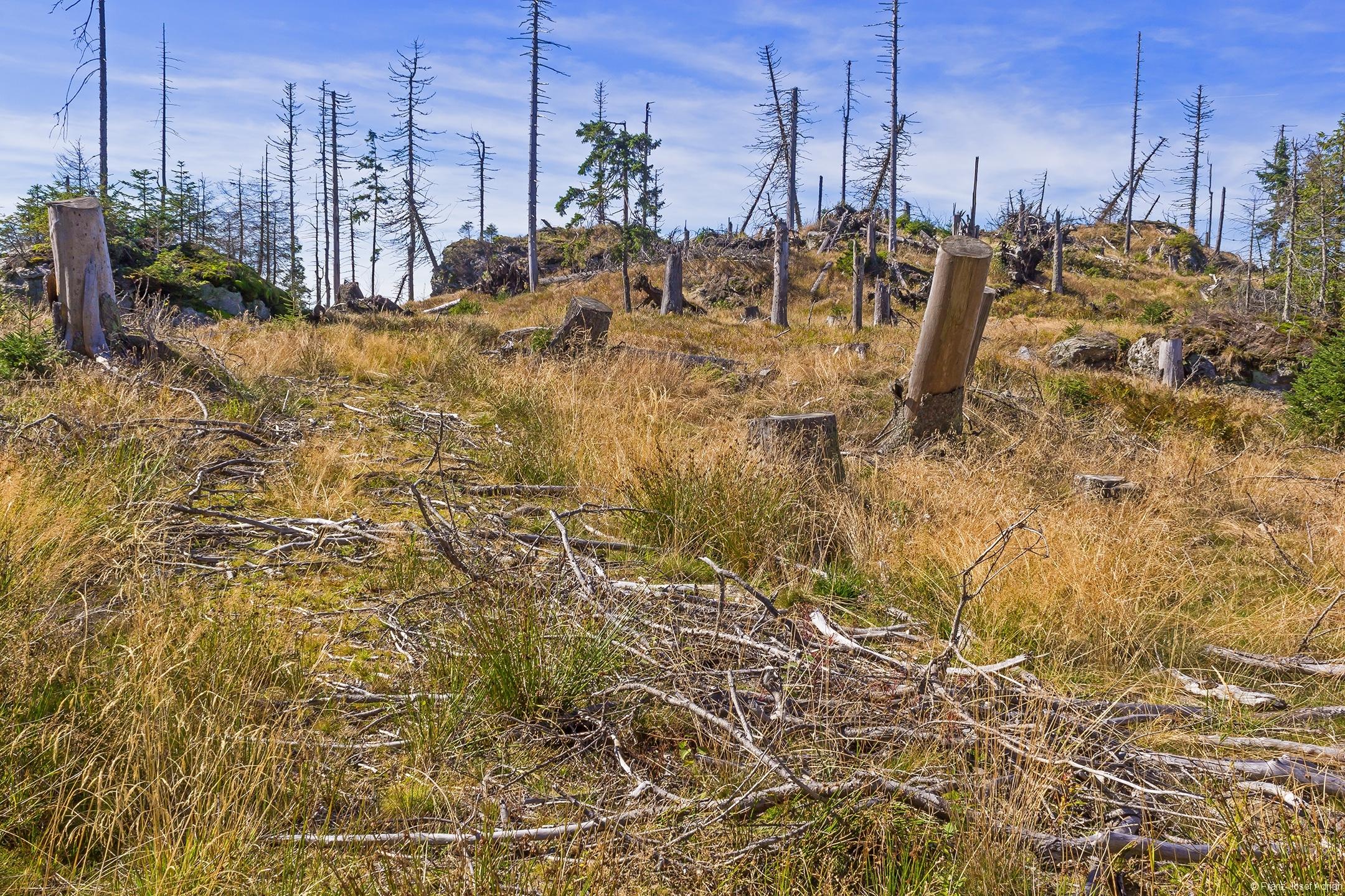 Rückegasse mit vielen Binsen, die Bodenschäden des Harvestereinsatzes anzeigen.