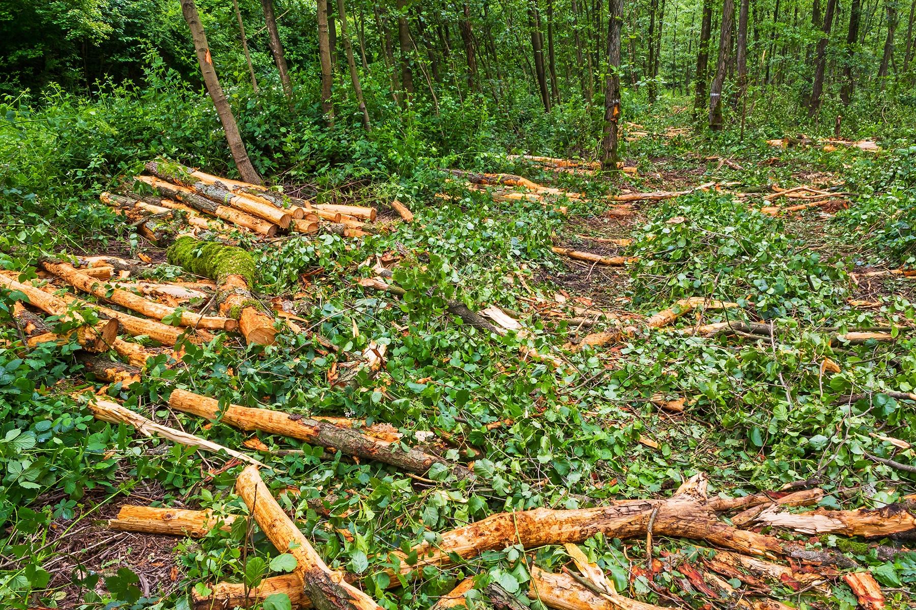 Rückegasse mit Knüppelholz und Kronenreisig bedeckt