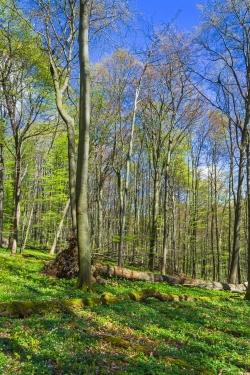 Buschwindröschen und Bärlauch bedecken den Waldboden