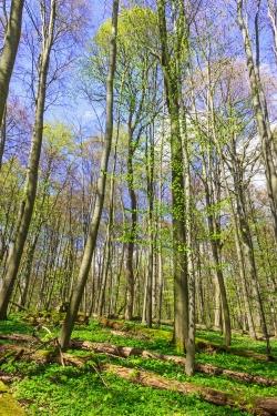 langsam ergrünende Baumkronen im Buchenwald