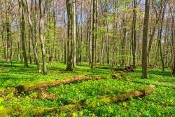 liegende Totholzstämme inmitten von Bergahorn-Verjüngung