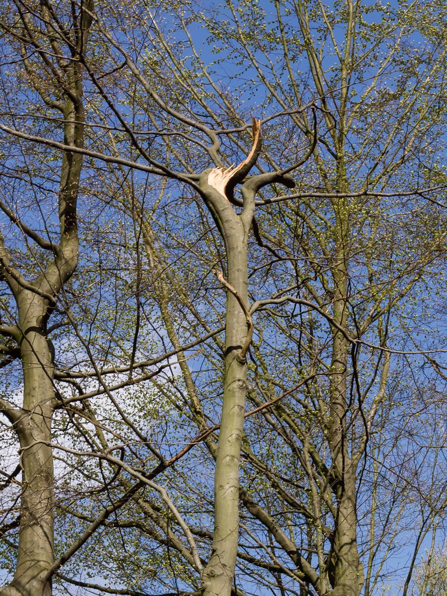 abgebrochener Leittrieb nach Baumfällung