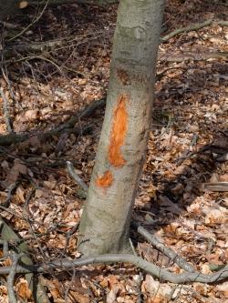 Rückeschäden am Baumstamm