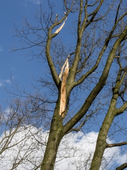 abgebrochener Hauptast durch Baumfällung