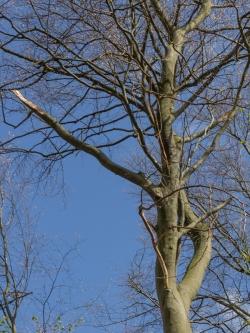 dicker abgebrochener Ast durch Baumfällung