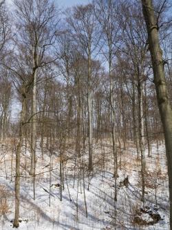 Gesunde Buchen im Göttinger Stadtwald