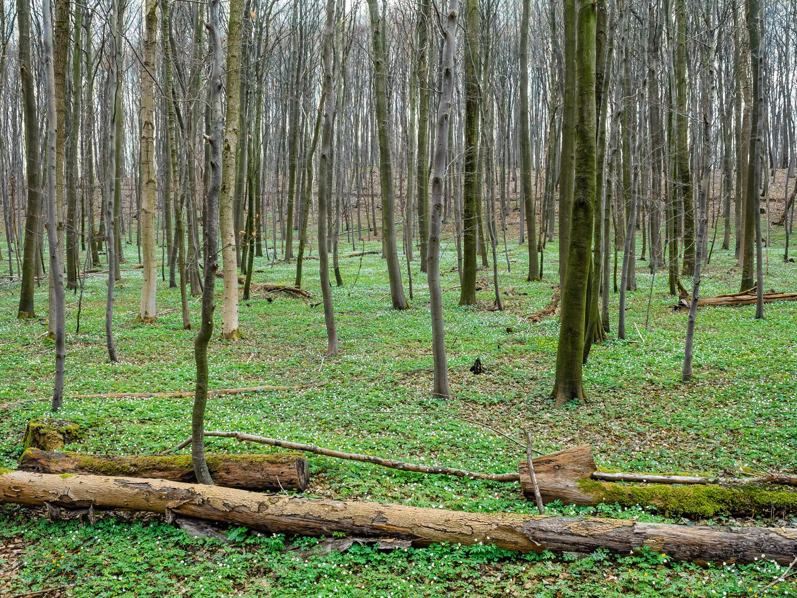 liegendes Totholz am Schaperberg