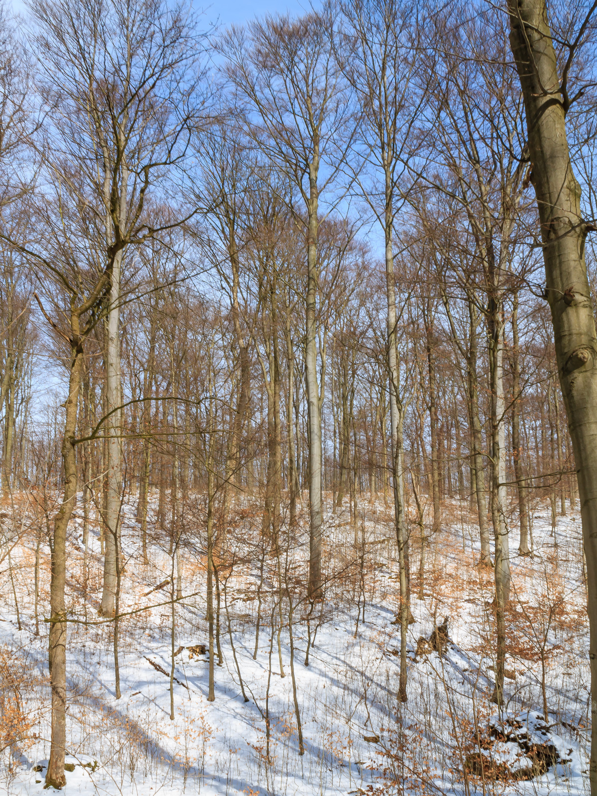winterlicher Buchenwald am Schaperberg