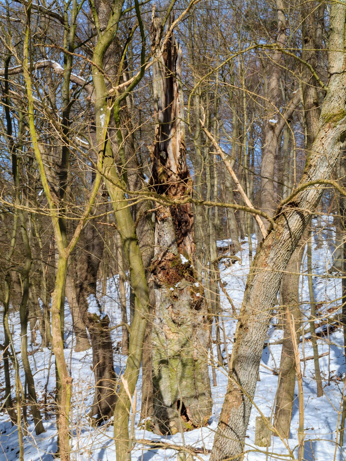 stehender Biotopbaum am Schaperberg