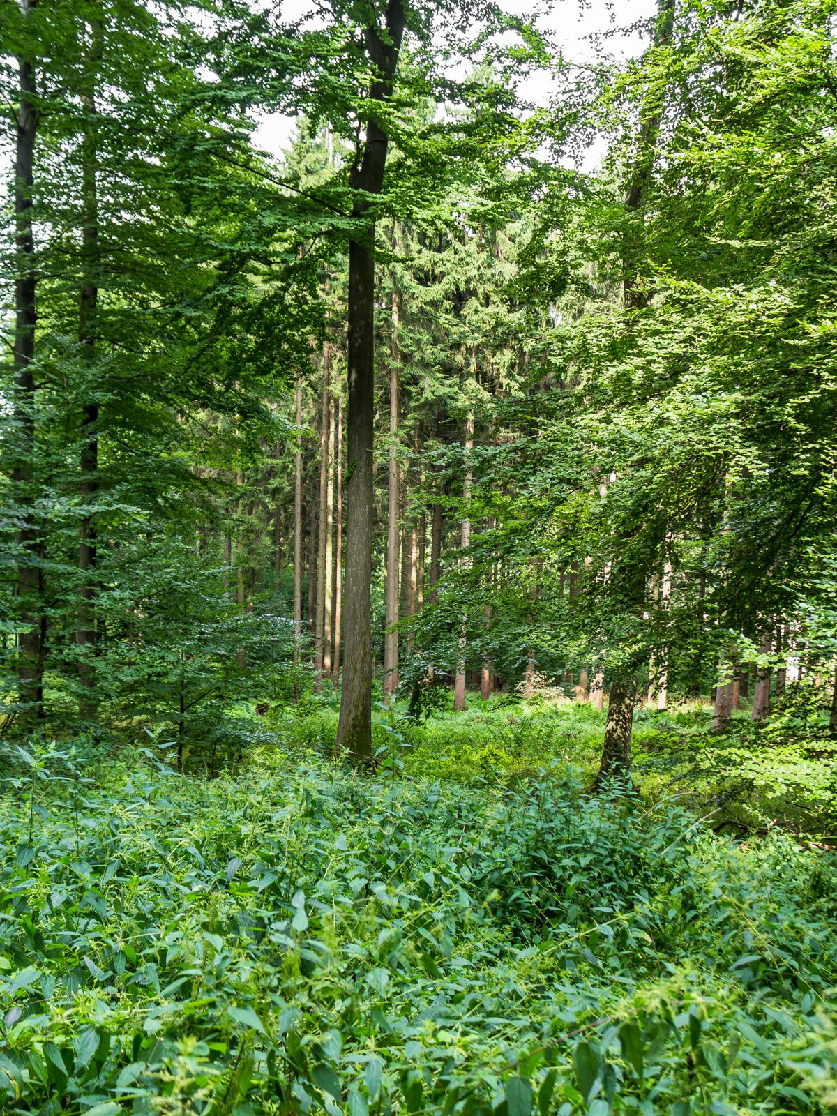 verkrauteter Waldboden, im Hintergrund Fichtenplantagen