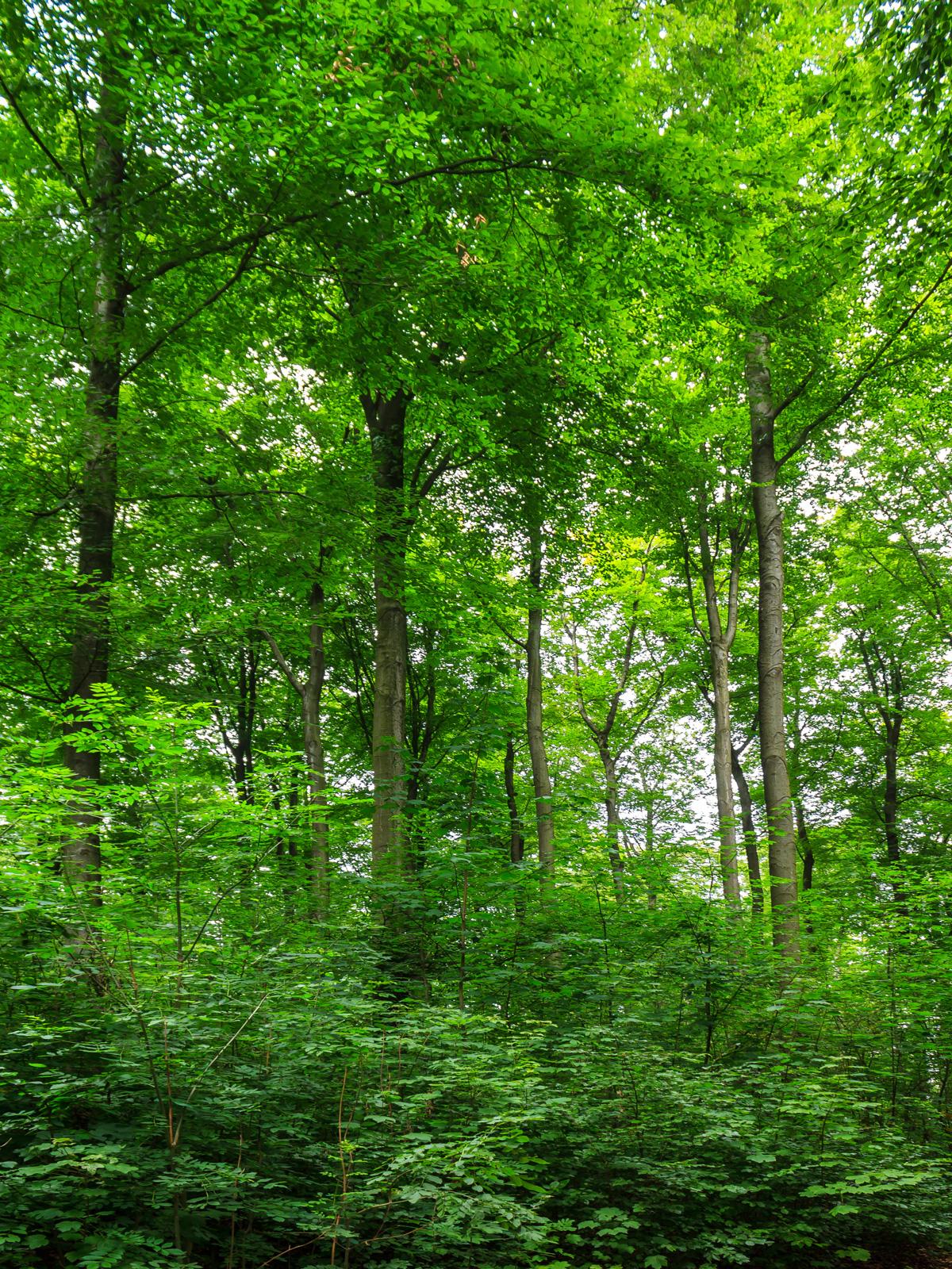 zweischichtiger Alterklassenwald ohne Jungbuchen