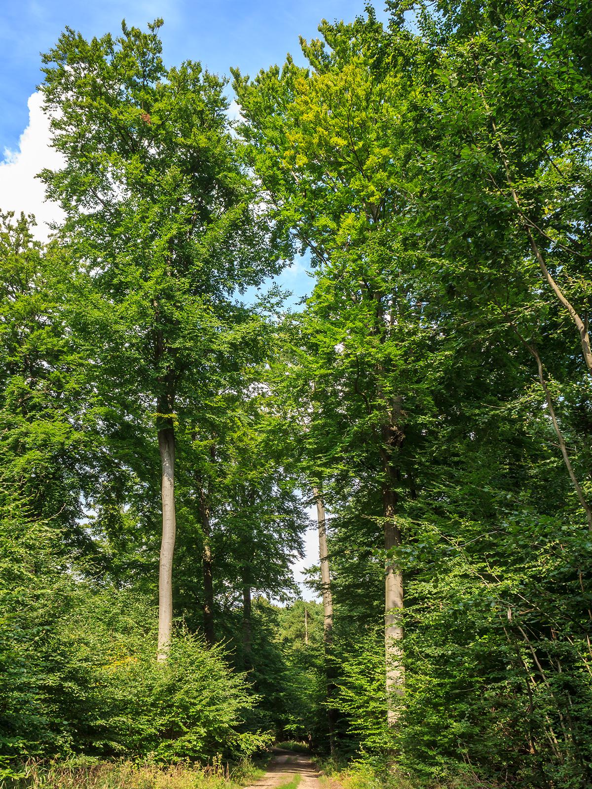 mehrere etwas gesündere Überhälter am Forstweg