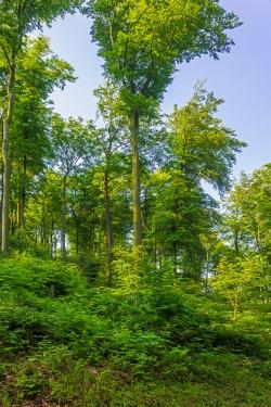strukturarmer Wirtschaftswald: Überhälter und Verjüngung
