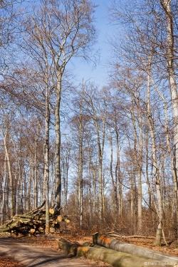 Holzpolter neben stark aufgelichtetem Buchenaltbestand