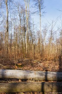 Überhälter im Buchenstangenholz