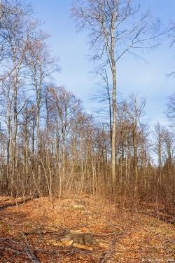 2 frische Stubben im Buchenstangenholz