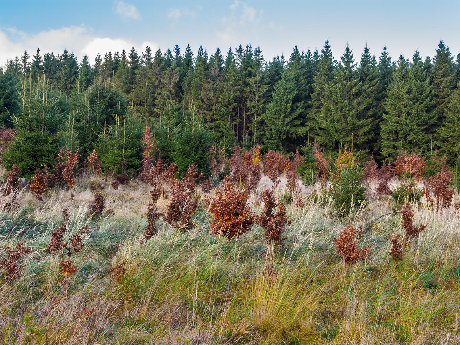 Wildschäden an Wiederaufforstung am Perlenbach