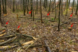 6 frische Stubben im jungen Laubmischwald