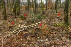 4 frische Stubben im jungen Laubmischwald