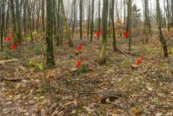 7 frische Stubben im jungen Laubmischwald