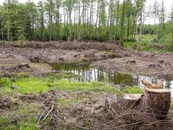 von Fichten freigestellte Waldfläche