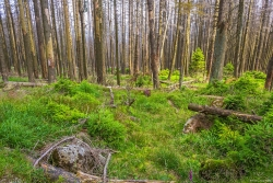 dicht vergraster Waldboden unter den abgestorbenen Fichten