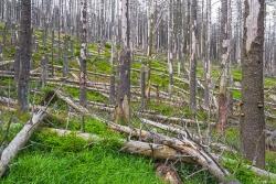 immer lichter werdende Ruine unterhalb des Brockenurwalds