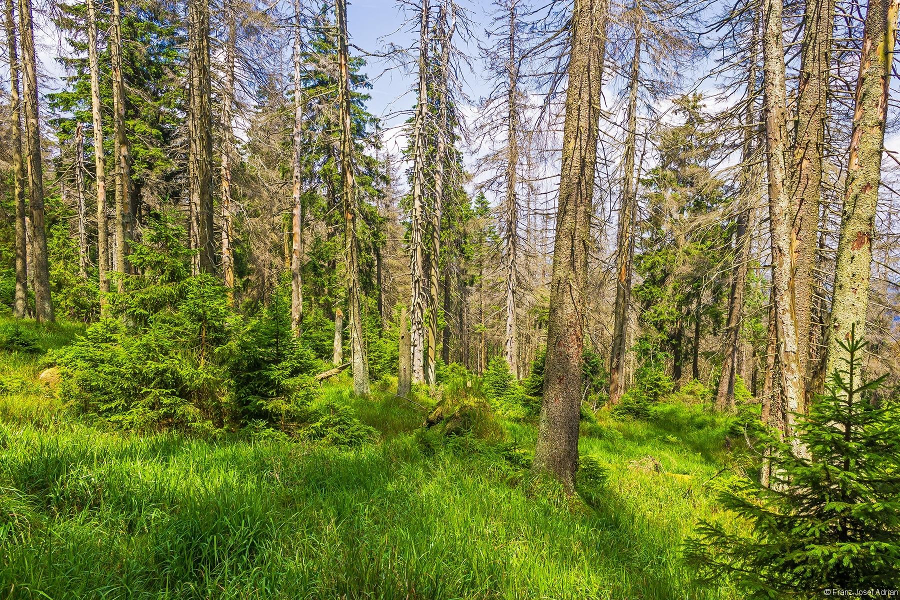 nördlicher Rand des Brockenurwalds