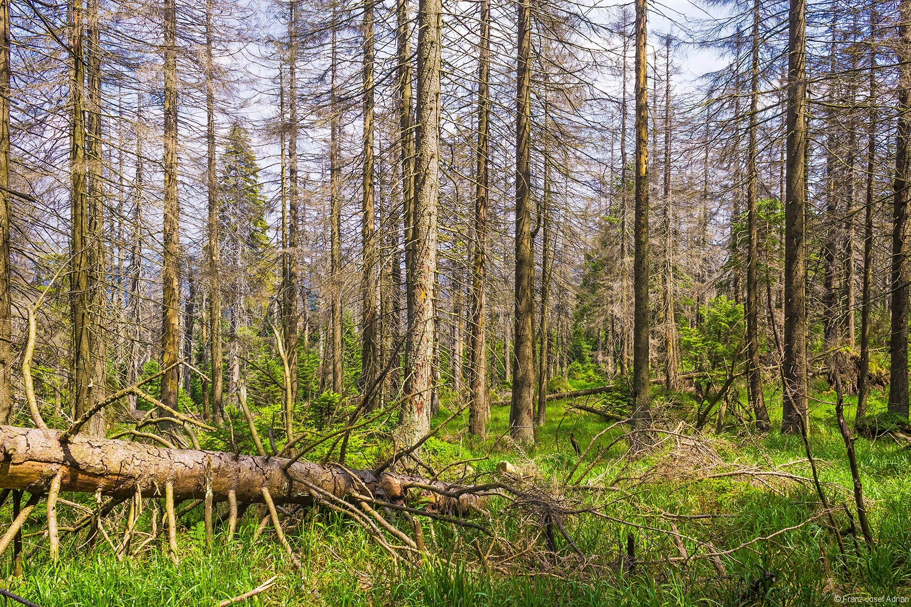 grobästiges Fichtentotholz
