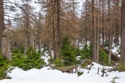 größere Jungfichten etwas unterhalb des Brockenurwalds