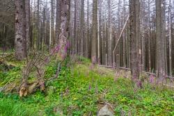 Fingerhut am Rand des alten Forstwegs