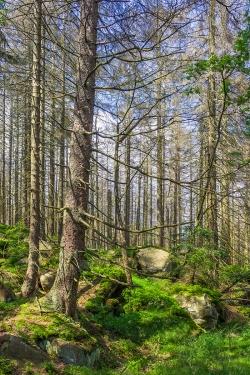 Fichtenwaldruine südlich des Forstwegs nach der Corneliaklippe