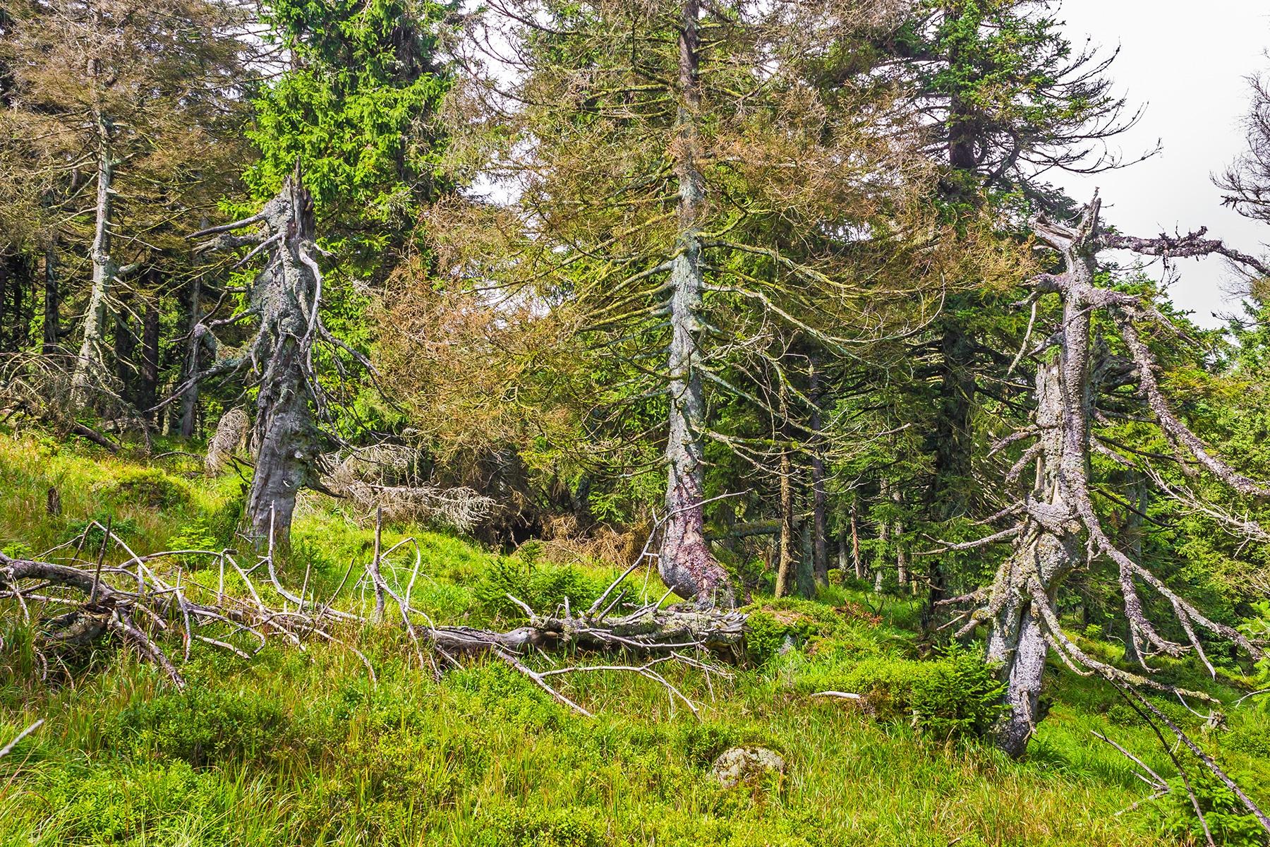 Brockenurwald am Schneelochweg